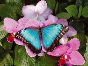 papillon31